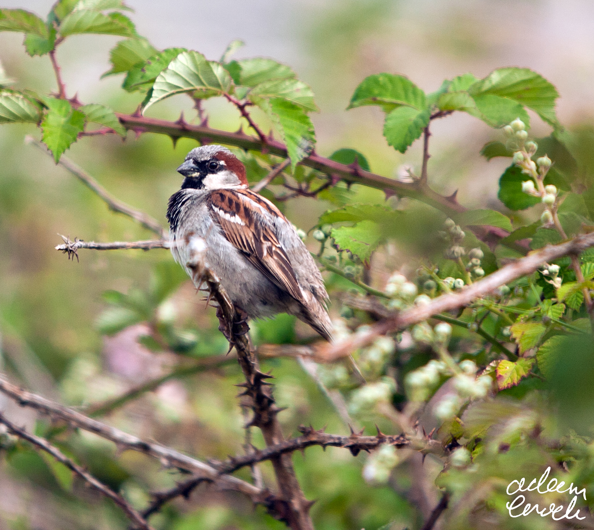 House Sparrow - Lizard Peninsula - 15th July 2016